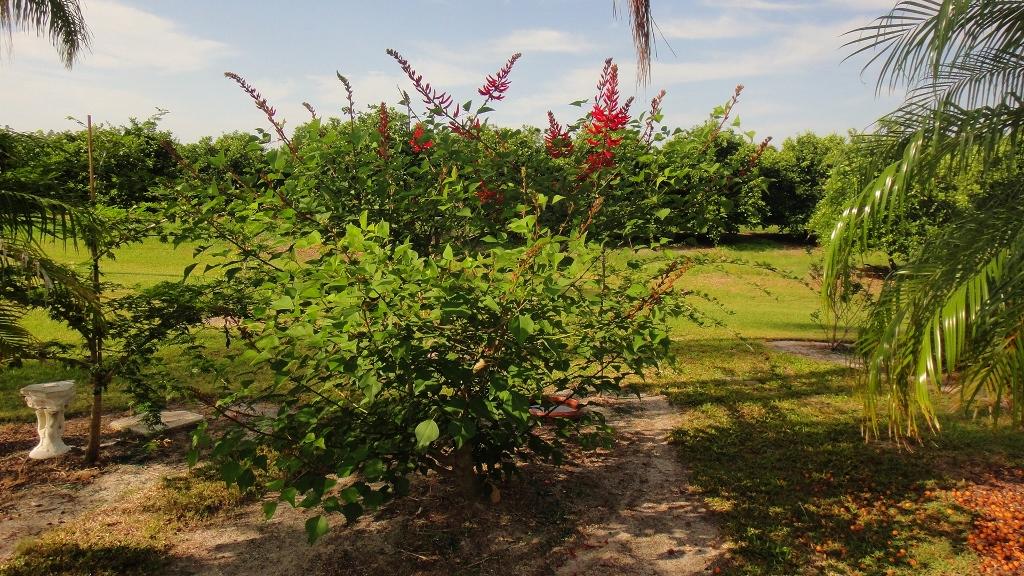 Erythrina Bidwillii Freund Flowering Trees Inc
