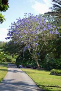 jacaranda cuspidifolia (681x1024)