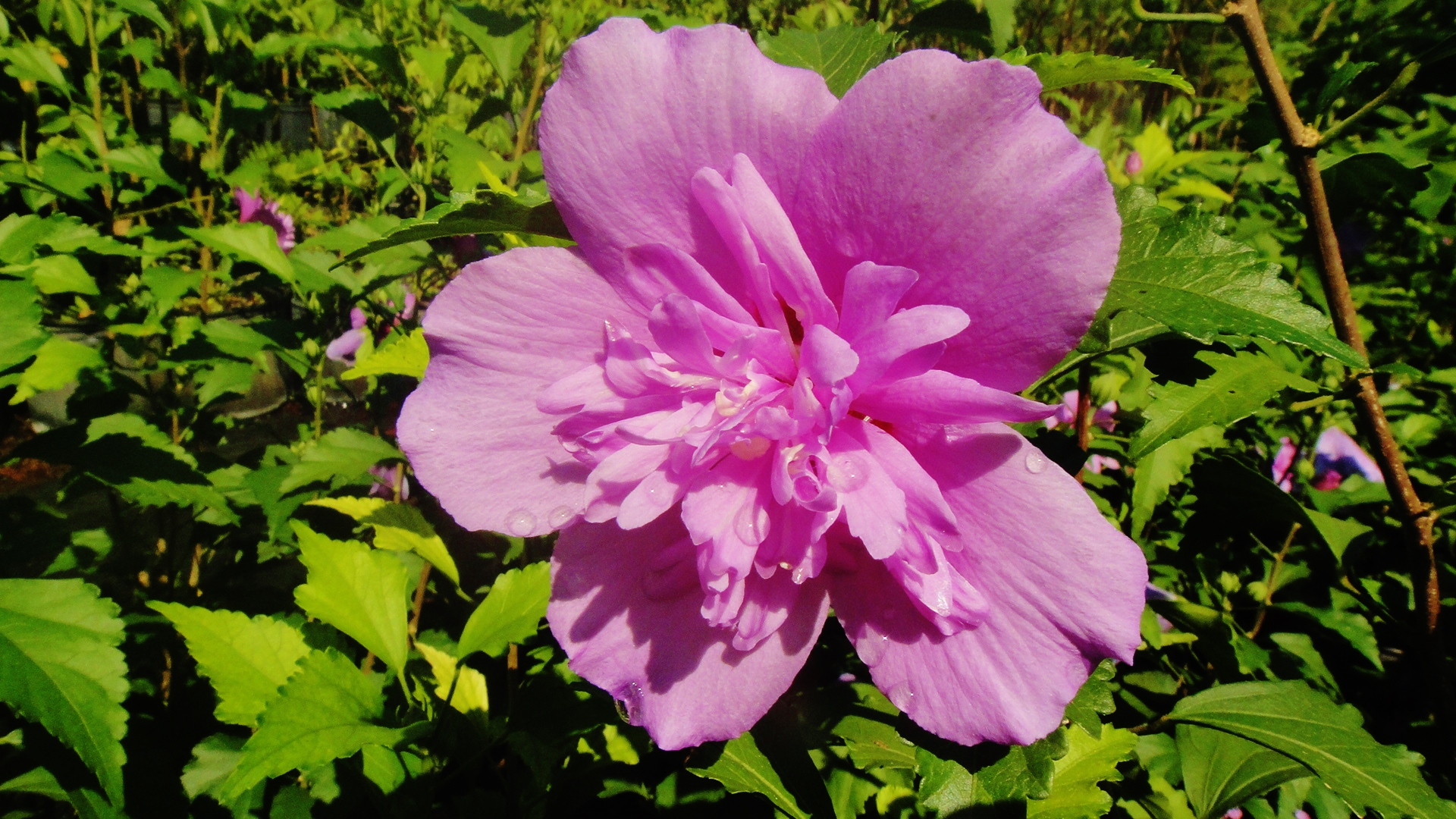 Hibiscus Syriacus Rose Of Sharon Double Purple