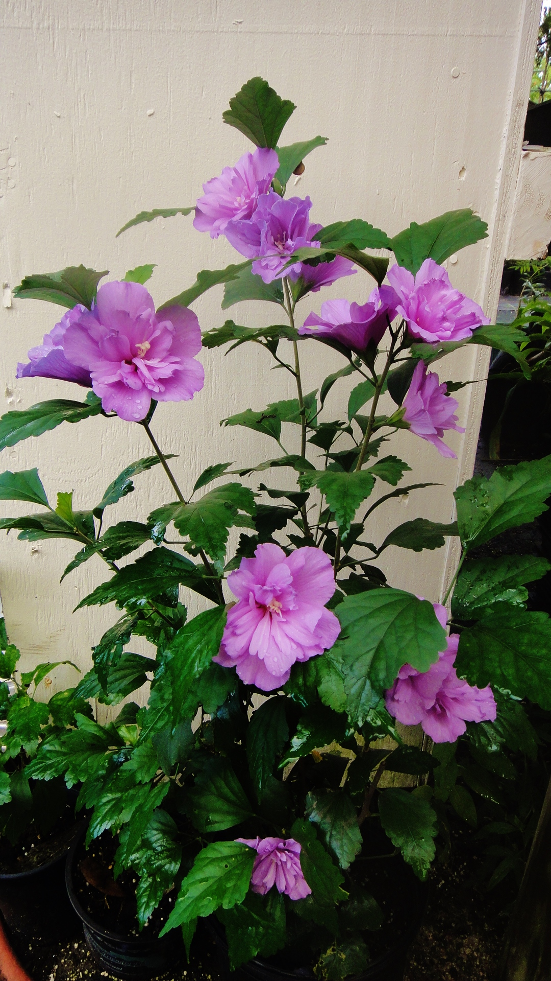 Hibiscus Syriacus Rose Of Sharon Double Purple Freund