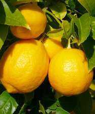 Lemon - Citrus lemon