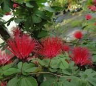 Calliandra emarginata - Dwarf Red Powder Puff