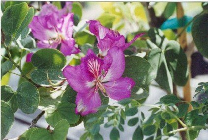 Bauhinia purpurea purple orchid tree freundfloweringtrees bauhinia purpurea purple orchidg mightylinksfo