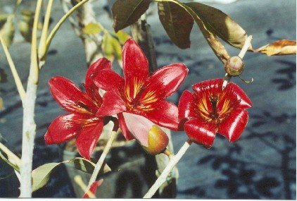 Bombax ceiba-Red Silk Floss.jpg