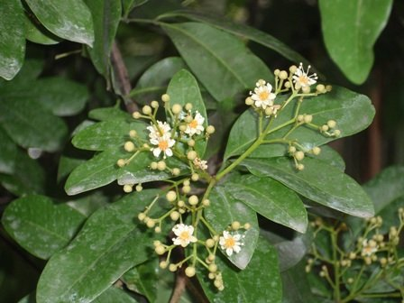 Bursera Simaruba Gumbo Limbo Freund Flowering Trees Inc