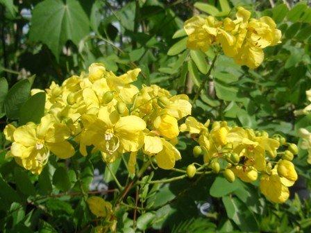 Flowering trees for the landscape freundfloweringtrees cassia afrofistulag mightylinksfo