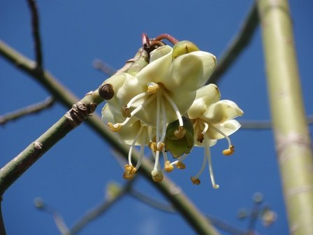 Ceiba pentandra – Kapok Tree - Freund Flowering Trees Inc