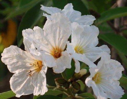 Flowering trees for the landscape freundfloweringtrees cordia boissierii white geiger 2g mightylinksfo