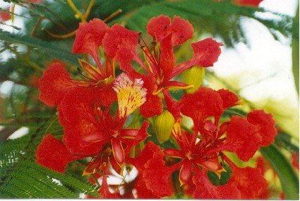 Delonix regia-Royal Poinciana.jpg